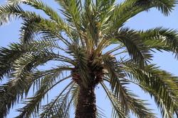 El tractament, que és preventiu, deixarà impregnada la base del tronc, per on surten les fulles