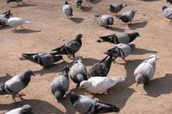 L'empresa Falcon Centre Catalunya realitzarà una captura controlada de coloms