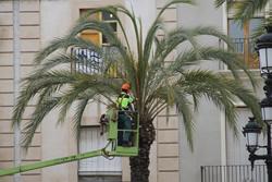 Esporga a les palmeres de la plaça de la Vila
