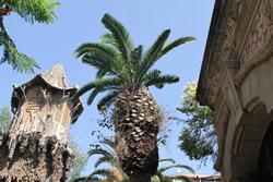 La palmera ha rebrotat amb força després del tractament