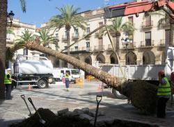 Els treballs de plantació de la nova palmera s'han fet aquest matí